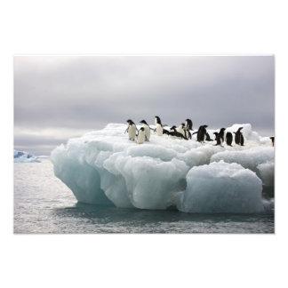 アデリーペンギンのPygoscelisのadeliae)、 フォトプリント