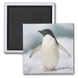 アデリーペンギン、クローズアップ マグネット