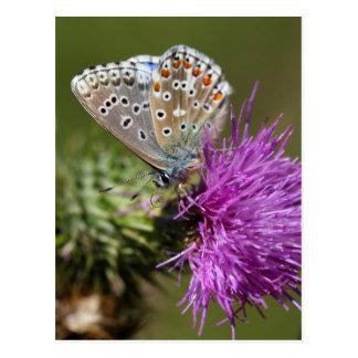 アドニスの青い蝶(Polyommatusのbellargus) ポストカード
