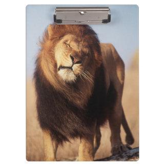 アフリカのオスのアフリカのライオン(ヒョウ属レオ) クリップボード