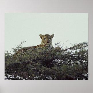 アフリカのヒョウ ポスター