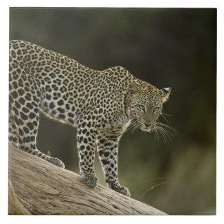 アフリカのヒョウ、2の木のヒョウ属のpardus、 タイル