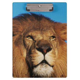 アフリカのライオンのクローズアップ クリップボード