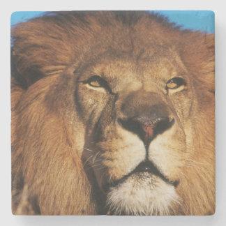 アフリカのライオンのクローズアップ ストーンコースター