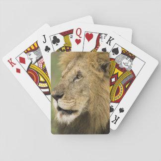 アフリカのライオンのポートレート、のヒョウ属レオ、 トランプ