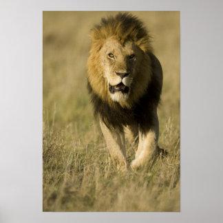 アフリカのライオン、で歩いているヒョウ属レオ ポスター