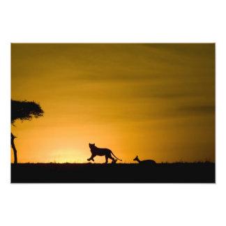 アフリカのライオン、ガゼルを追跡しているヒョウ属レオ フォトプリント