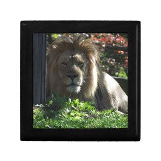 アフリカのライオン ギフトボックス