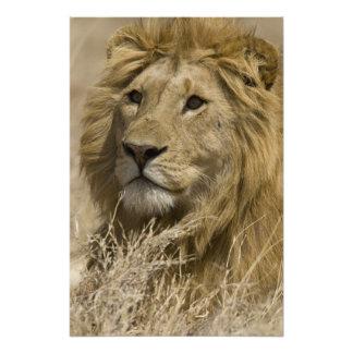 アフリカのライオン、ヒョウ属レオのaのポートレート フォトプリント