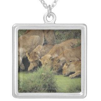 アフリカのライオン(ヒョウ属レオ)の臭いがする草、 シルバープレートネックレス
