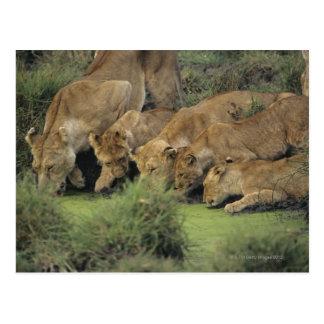 アフリカのライオン(ヒョウ属レオ)の臭いがする草、 ポストカード