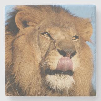 アフリカのライオン(ヒョウ属レオ)、アフリカのサバンナ ストーンコースター