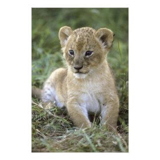アフリカのライオン、ヒョウ属レオ)、タンザニア、 フォトプリント