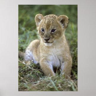 アフリカのライオン、ヒョウ属レオ)、タンザニア、 ポスター