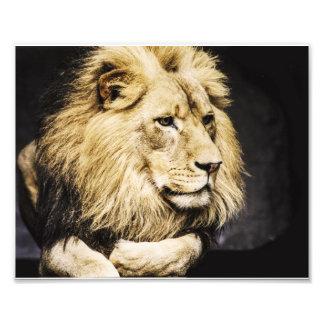 アフリカのライオン フォトプリント