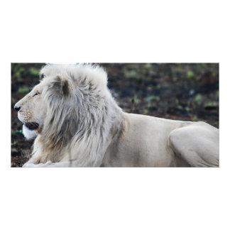 アフリカの白いライオンのプロフィールの写真 カード