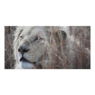アフリカの白いライオンの休息 カード