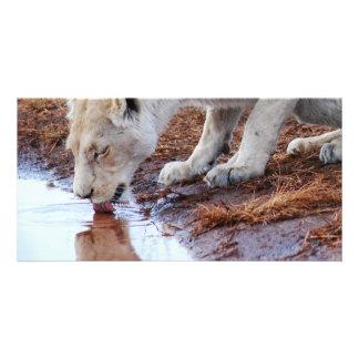 アフリカの白いライオンの反射 カード