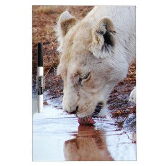 アフリカの白いライオンの反射 ホワイトボード