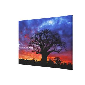 アフリカのbaobabの木、バオバブのdigitata、2 キャンバスプリント