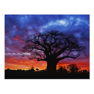 アフリカのbaobabの木、バオバブのdigitata、2 ポストカード