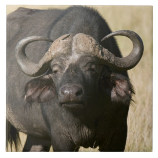 アフリカスイギュウ(Syncerusのcaffer)、マサイ語マラ タイル