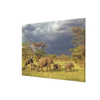 アフリカゾウの群れ、Loxodontaのafricana、 キャンバスプリント