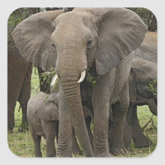 アフリカゾウの群れ、Loxodontaのafricana、 スクエアシール
