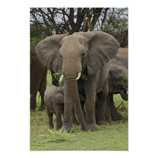 アフリカゾウの群れ、Loxodontaのafricana、 ポスター