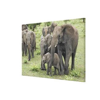 アフリカゾウの群れ、Loxodontaのafricana、2 キャンバスプリント