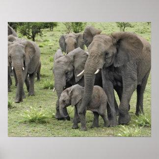 アフリカゾウの群れ、Loxodontaのafricana、2 ポスター