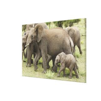 アフリカゾウの群れ、Loxodontaのafricana、3 キャンバスプリント