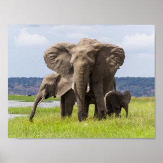 アフリカゾウ家族、ボツワナのポスター ポスター