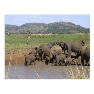 アフリカゾウ ポストカード