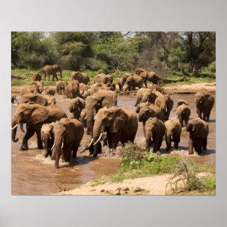 アフリカゾウ、交差するLoxodontaのafricana ポスター