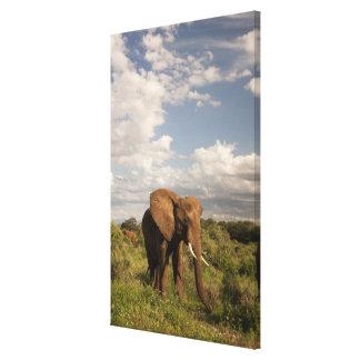 アフリカゾウ、aのLoxodontaのafricana、 キャンバスプリント