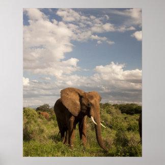 アフリカゾウ、aのLoxodontaのafricana、 ポスター