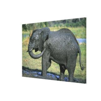 アフリカゾウ、(Loxodontaのafricana)、泥 キャンバスプリント