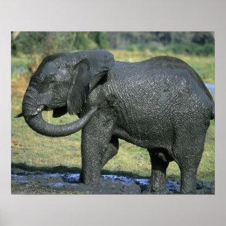 アフリカゾウ、(Loxodontaのafricana)、泥 ポスター
