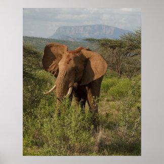 アフリカゾウ、SamburuのLoxodontaのafricana、 ポスター