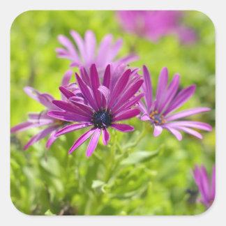 アフリカデイジーの花のステッカー スクエアシール