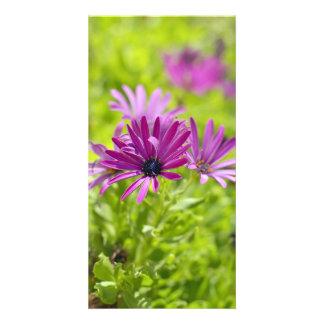 アフリカデイジーの花の写真カード カード