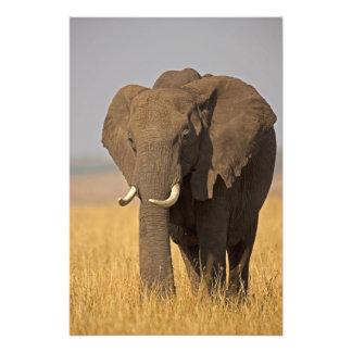 アフリカ人のブッシュ象のLoxodontaのafricana) フォトプリント