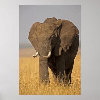 アフリカ人のブッシュ象のLoxodontaのafricana) ポスター