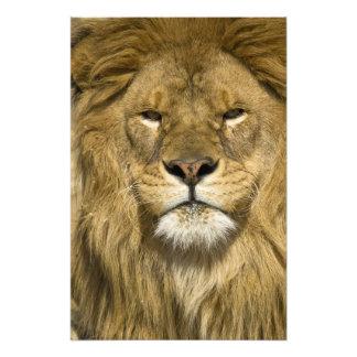 アフリカ人のBarbaryのライオン、ヒョウ属レオレオ、者の フォトプリント