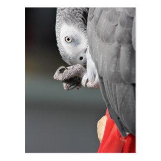 アフリカ灰色のオウム ポストカード