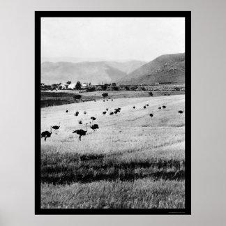 アフリカ1912年のだちょうの農場 ポスター
