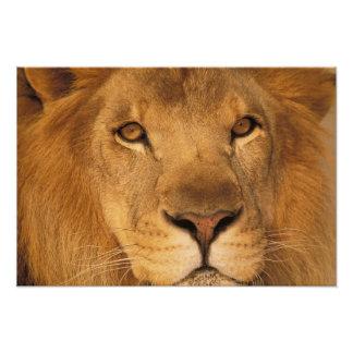 アフリカ。 アフリカのオスのライオン、かヒョウ属レオ フォトプリント