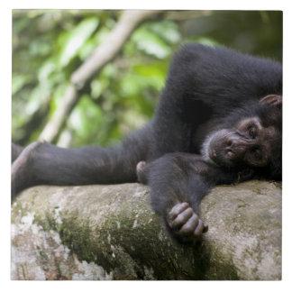 アフリカ、ウガンダの若いKibaleの森林予備 タイル