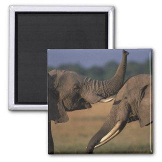アフリカ、ケニヤ、マサイ族のマラのゲームの予備、2 Bull マグネット